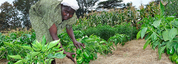 Experiences from the Kenyan Horticulture and Food Security Program