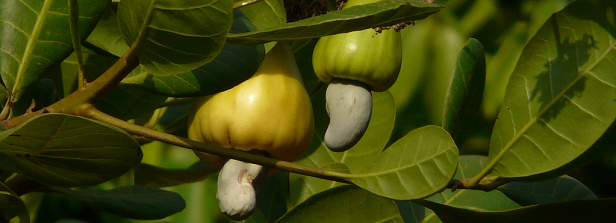 ARF-1 factsheet: Cashew nuts for farmers' income Uganda