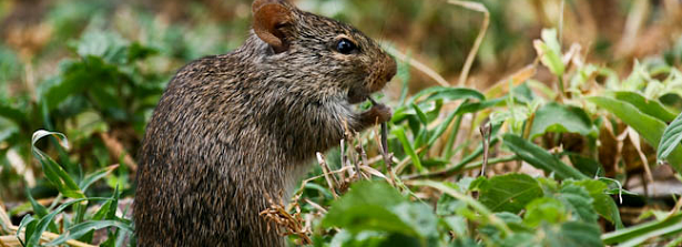 ARF1.3-1 Rodent management for post-harvest loss reduction