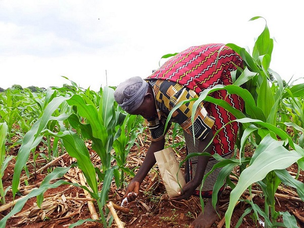 A woman applies fertilizer on a maize crop in Kenya. Fertilizer is expensive in sub-Saharan Africa. Many smallholders farmers can only afford to apply a little fertilizer on their farms.