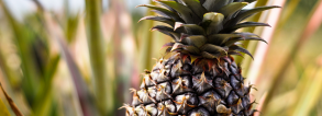 ARF2-2 Agronomic and processing practices or pineapple in Benin