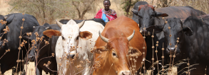 GCP3 Fast Track - Resilient dairy farming in Ethiopia and Kenya