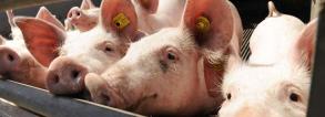 gcp1d_brazil-porc