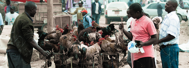 Poultry development in Eastern Africa, a regional perspective