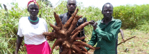 ARF-1.3 Cassava Applied Research for Food Security in Northern Uganda