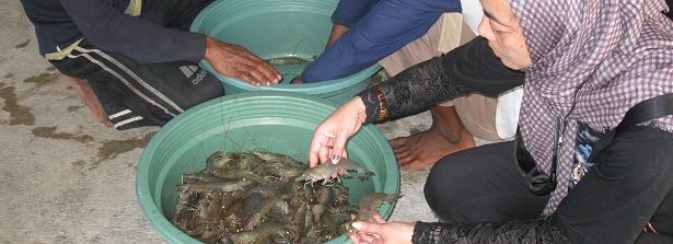 GCP-1 midterm factsheet. Nutritious-system pond farmin in Vietnam