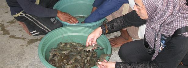 GCP-1 midterm factsheet: Nutritious-system pond farming in Vietnam