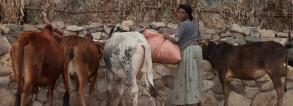 ARF-3-2f Ethiopia Healthy Cows