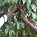 ARF-2.3 Treefarms Ghana - Cross-farm visit black pepper and grain-of-paradise farmers1