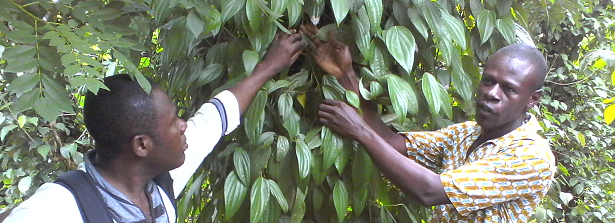 ARF-2.3 Treefarms Ghana - Cross-farm visit black pepper and grain-of-paradise farmers1