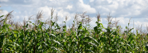 GCP 4 - Promoting climate resilient maize varieties in Uganda