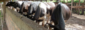 GCP-4 Business models Ethiopian and Kenyan dairy chains