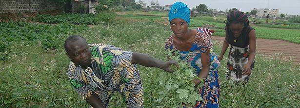 ARF-1 factsheet Benin spiderplant
