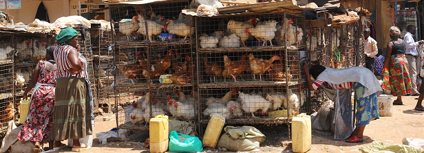 Poultry development in Eastern Africa, What next?