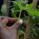 ARF-3 project Grafted Tomatoes IRESO Uganda - blog03