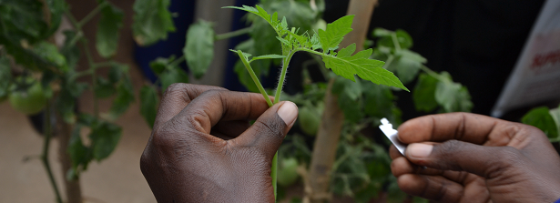ARF-3 project Grafted Tomatoes IRESO Uganda - blog03
