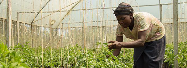 What is climate smart in Africa's horticulture? A network mapping of drivers for climate action in Kenya, Tanzania and Za