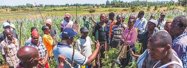ARF-2 final factsheet Salvaging tomato production in Kenya from pests and diseases