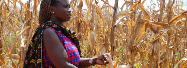 SSD Call project - Promoting stress-tolerant varieties at scale in Kenya