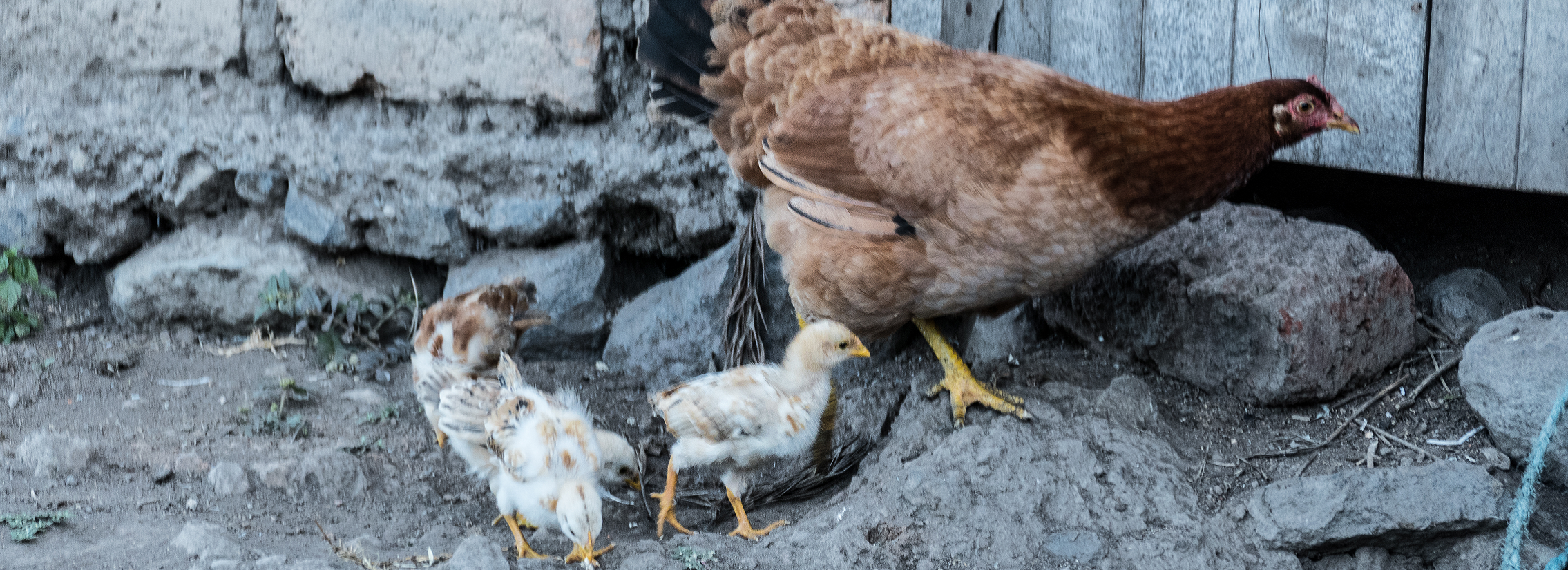 Women-led chicken seed dissemination - Ethiopia & Tanzania