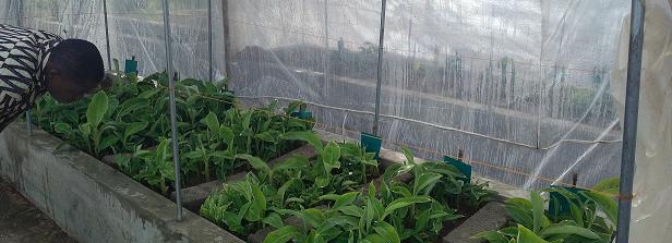ARF-3 final factsheet: Plantain varieties in Benin